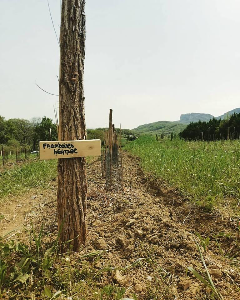 Le champ de framboises du Mas Bellane